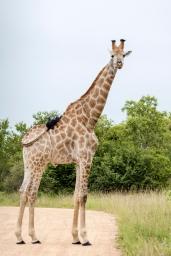 IMG_9875-Giraffe