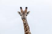 IMG_9881-Giraffe