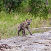 IMG_9925-Spotted-Hyena