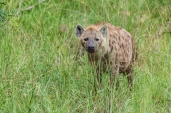IMG_9944-Spotted-Hyena