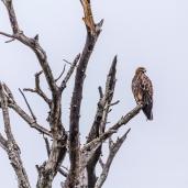 IMG_9953-Tawny-Eagle