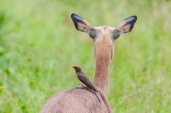 IMG_9962-Red-billed-Oxpecker