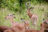 IMG_9970-Impala