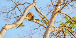 img_6511-24-golden-capped-parakeet