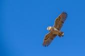 img_6236-burrowing-owl